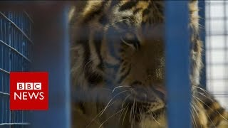 Aleppo zoo animals rescued and taken to Turkey- BBC News