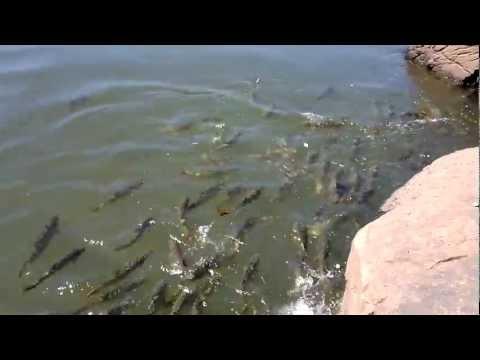 Dorados cazando mojarras