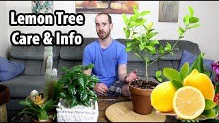 Caring for a Lemon Tree (Citrus x limon)