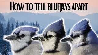 How To Tell Blue Jays Apart