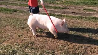 123-2 Yorkshire boar