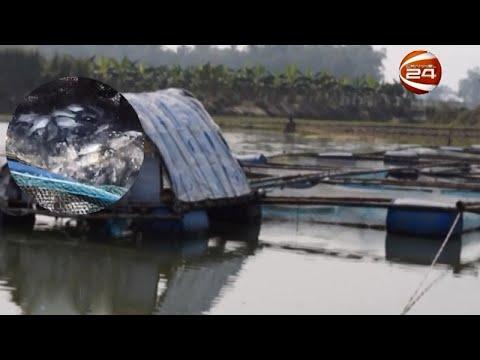নদীতে খাঁচায় মাছ চাষ করে স্বাবলম্বী সাইফুল