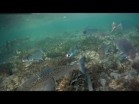 Stor stime havørreder på Lolland