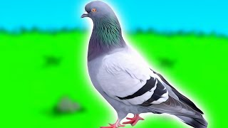 How to become a pigeon and escape life forever.