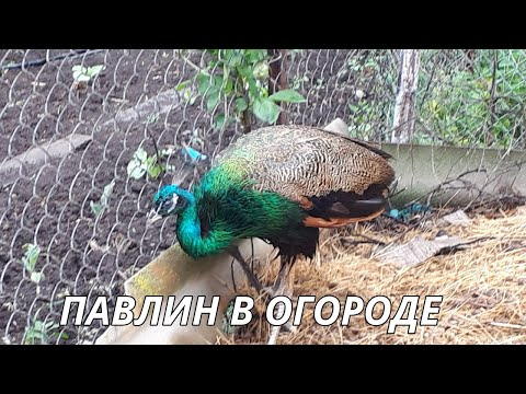 Огородный влог. Неожиданный гость .Павлин в огороде.Garden vlog//peacock