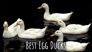 Which Duck Is The Best For Eggs? Find Out Which Ducks Lay The Most Eggs And Are The Easiest!