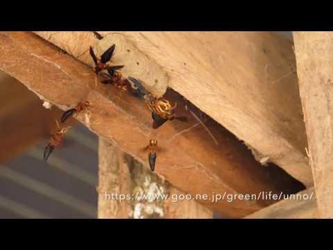 オオキバドロバチのメスの獲得戦 Synagris cornuta