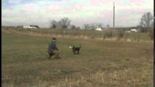 Training Retriever Puppies - Walkout Blind Diversion Mark 4 month old Labrador Puppy