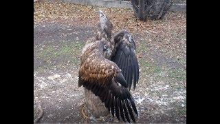 19.11.18 Тренировка с Орланчиком:) Орлан Белохвост:) white-tailed eagle