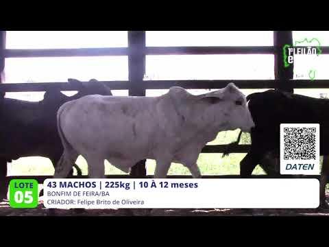 43 MACHOS - BONFIM DE FEIRA-BA