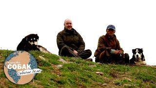 Среднеазиатская овчарка (алабай). Планета собак 🌏 Моя Планета