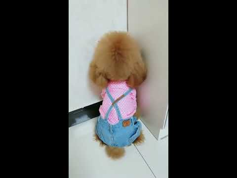 【抖音】寵物合集41 - Poodle, Was it really a dog in his previous life?
