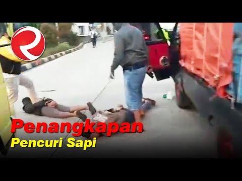 DRAMATIS!! Penangkapan Kawanan Sindikat Pencuri Sapi