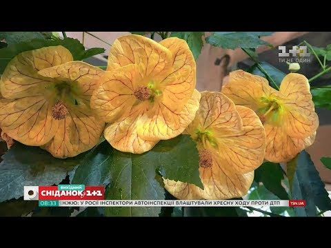 Кімнатна рослина абутілон: все про догляд та розмноження – Зелена ділянка