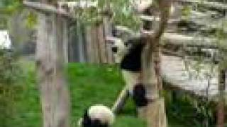 preview picture of video 'Chengdu pandas - 2'