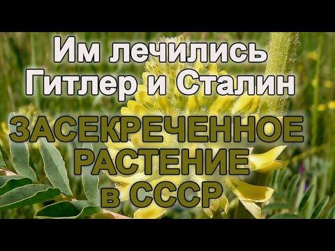 ЗАСЕКРЕЧЕННОЕ РАСТЕНИЕ в СССР, им лечились Гитлер и Сталин - ЛЕЧИТ многие ВСЕ БОЛЕЗНИ и ОМОЛАЖИВАЕТ!
