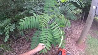 Invasive Trees & Plants Pwalpar VLOG
