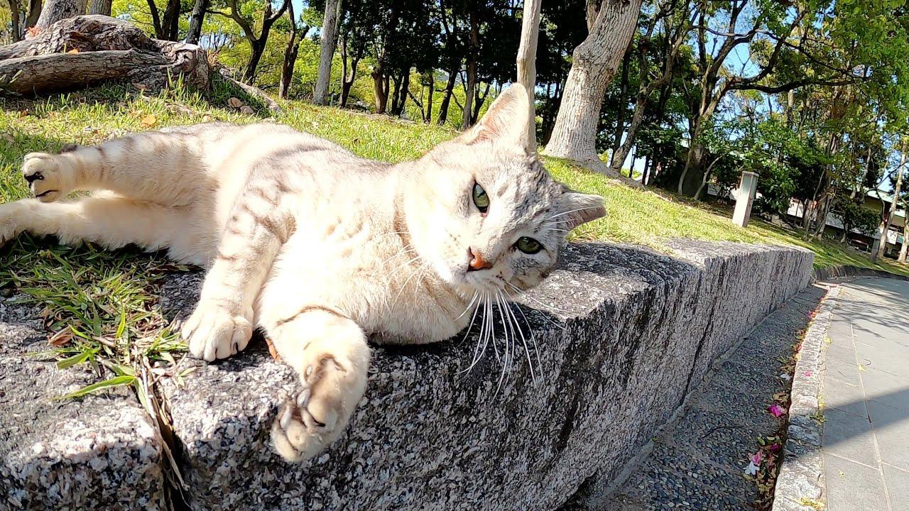 お腹をモフると猫パンチ!お尻をモフるとシャチホコになるサバトラ猫