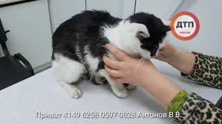 Дворовой кот Обнимашкин, живот разорван собакой. Бегал так около 3 дней. Доставлен в Рыжий Кот. Высо