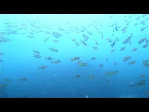 水中映像:クロムツ