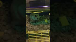Hamster Rodents Videos