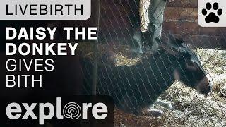 Daisy the Donkey Gives Birth - Live Cam Highlight