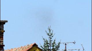 Roji letečih mravelj v Ljutomeru