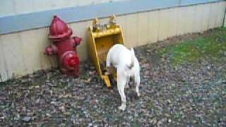 Hangtown Arabella Drummond American Bulldog