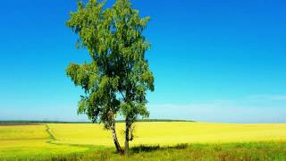 Русская березка - символ родного края