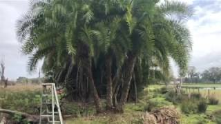 The Tree Planters Presents Our Triple Trunk Sylvester Palm