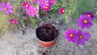 How To Grow Cosmos  Pinkie