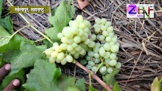 ZBNFSPTV : Solapur : Mryutyunjay Bagle's Grapes Cultivation