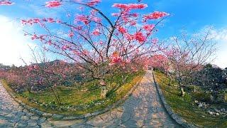 VR動画で沖縄ツアー『お花見さんぽ 今帰仁城編 』4K 360°の動画