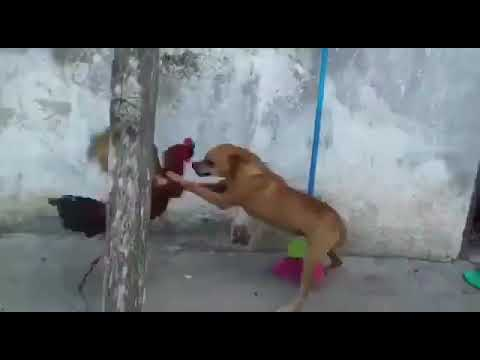 Rooster Fighting Dog