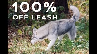 Step By Step How To Train Your Husky To Be Fully Off Leash | Little Husky Voodoo