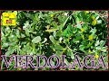 VERDOLAGA - PORTULACA (Anticoagulante natural) Propiedades y beneficios,...