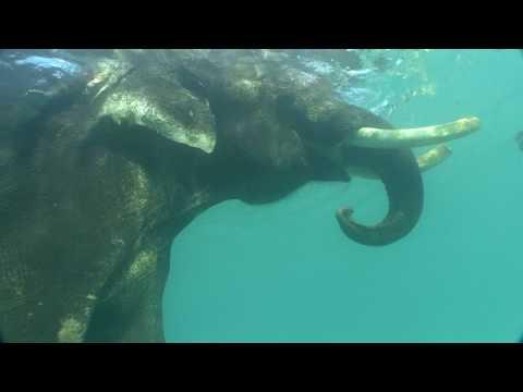Elefant, Andamanen Inseln,Indien