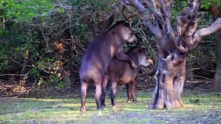Wild Tapirs Mating - Rio Mutum, Pantanal, Brazil