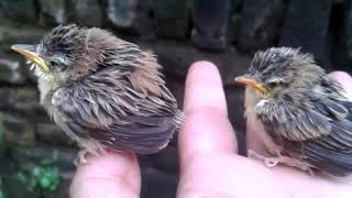 Anak Burung Cici Padi (Cisticola Juncidis)