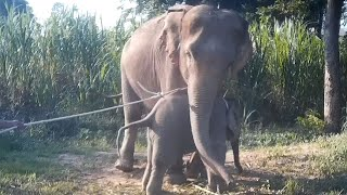 video: Baby elephant abuse raises concerns about Thailand's tourism practice
