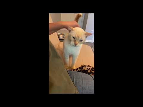Stevie- SEE VIDEO, an adopted Siamese in Houston, TX