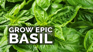 8 Tips to Grow Better Basil