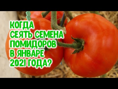 Лучшие дни для посева семян помидоров на рассаду в январе 2021 года.  Агрогороскоп для томатов