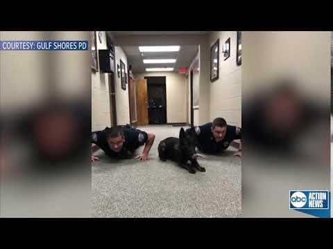 Служебная собака отжимается вместе с полицейскими