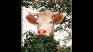 I am  Cow 02.wmv