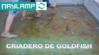 Visitando Criaderos De GOLDFISH En HUARAL, Lima
