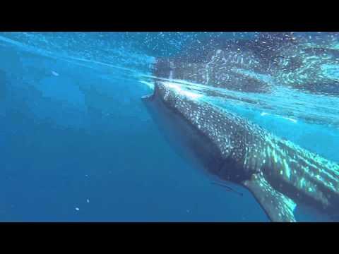 Whale Shark Holbox 2013