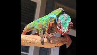Chameleon traits & adaptations (3rd grade style)
