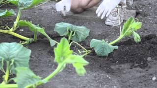 Grow Big Pumpkins - Vine Burying, Pollination, Vine Training