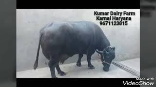 Cow Buffalo Supplier - ฟรีวิดีโอออนไลน์ - ดูทีวีออนไลน์